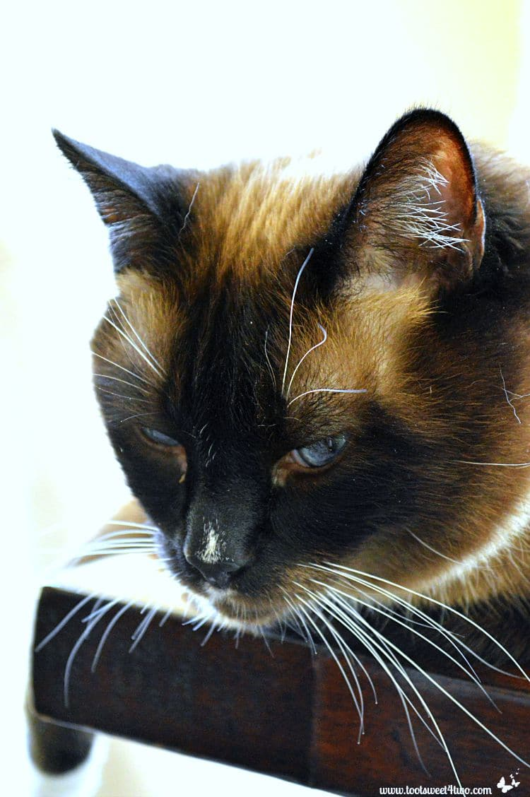 Coco the Snowshow Siamese cat with a look of disdain