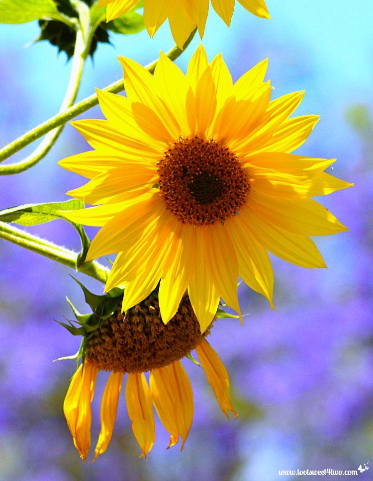 Happy-face Sunflower - Gone Girl