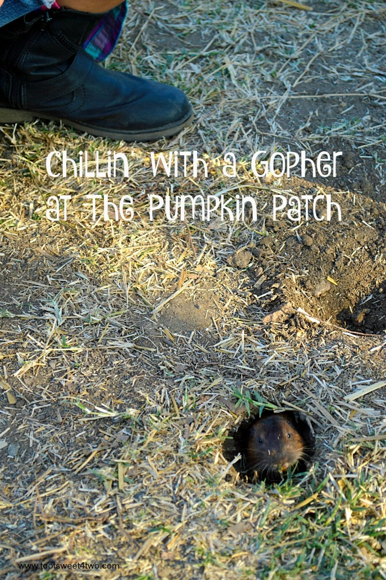 Chillin' with a Gopher at the Pumpkin Patch cover