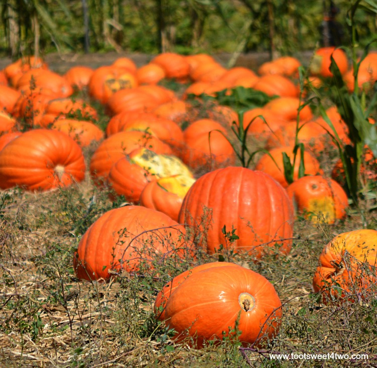 Field of Big Mac pumpkins
