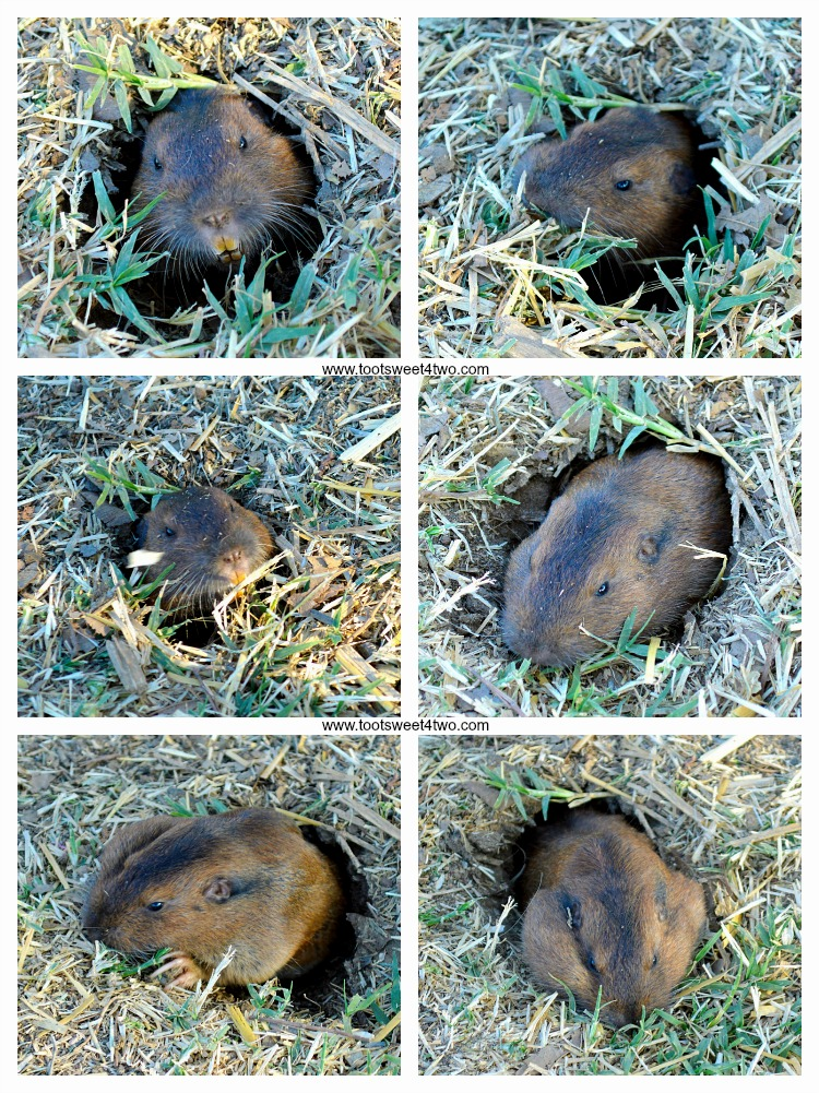 Gopher at the pumpkin patch collage