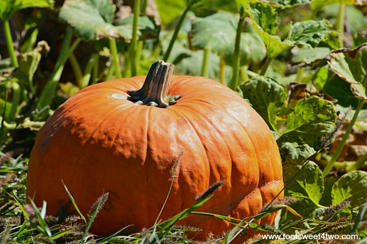 Howden Pumpkin growing in a field