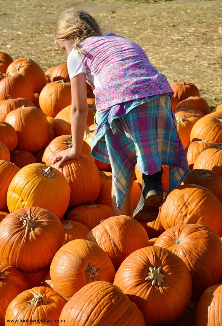 Princess P climbing through a pile of pumpkins 2015
