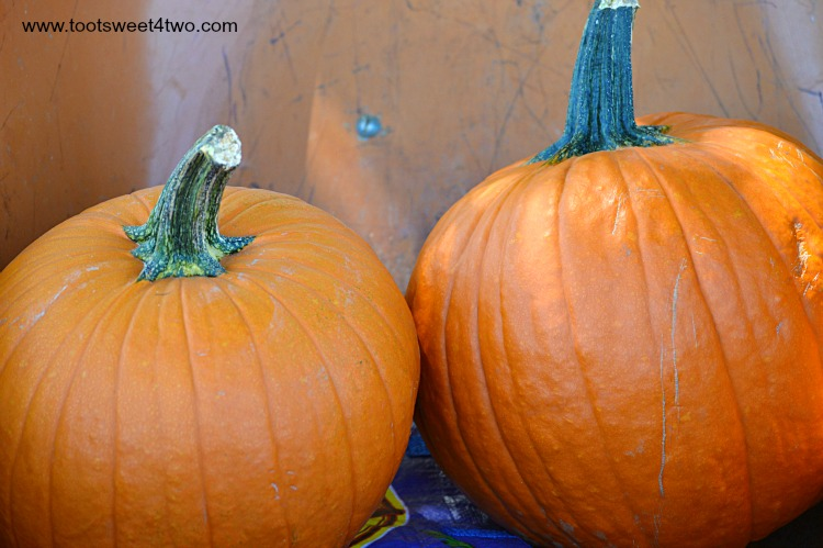 Rock Star Pumpkins in an orange wheelbarrow