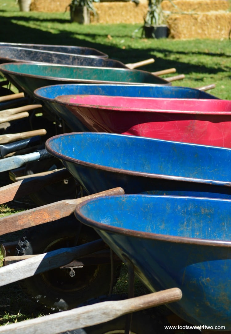 Wheelbarrows in a row at the pumpkin patch
