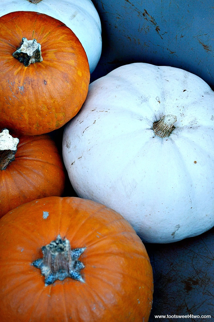 White pumpkins and orange pie pumpkins in wheelbarrow