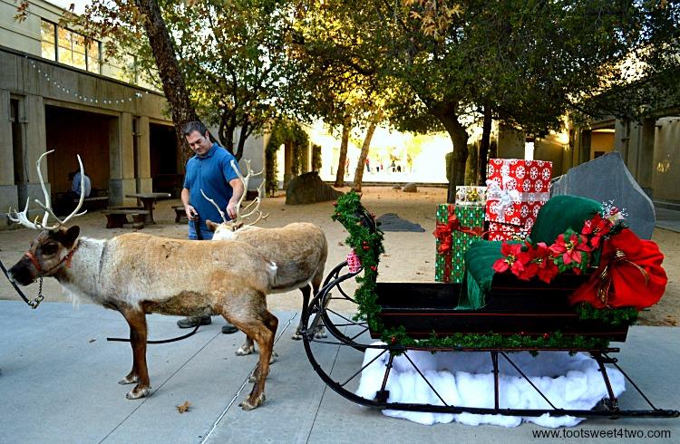 Backing Reindeer up to Christmas Sleigh