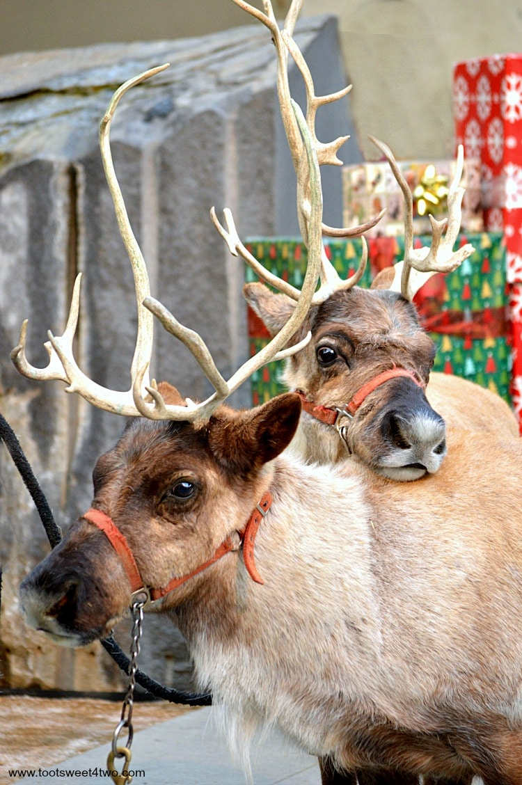 Reindeers snuggling at Center for the Arts, Escondido, CA