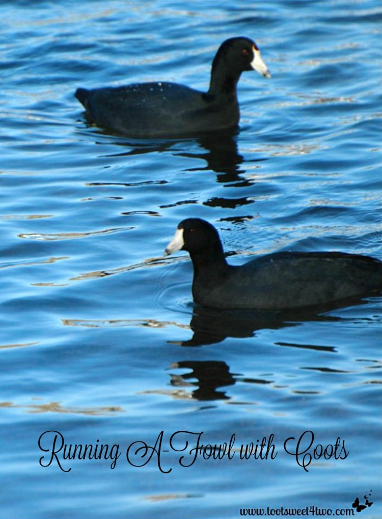 2 American Coots on the water at Lake Poway
