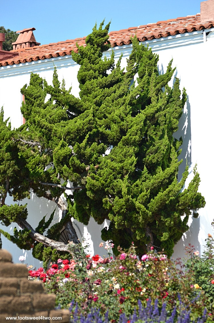 Cypress tree along wall near Welcome Center at Old Mission San Luis Rey