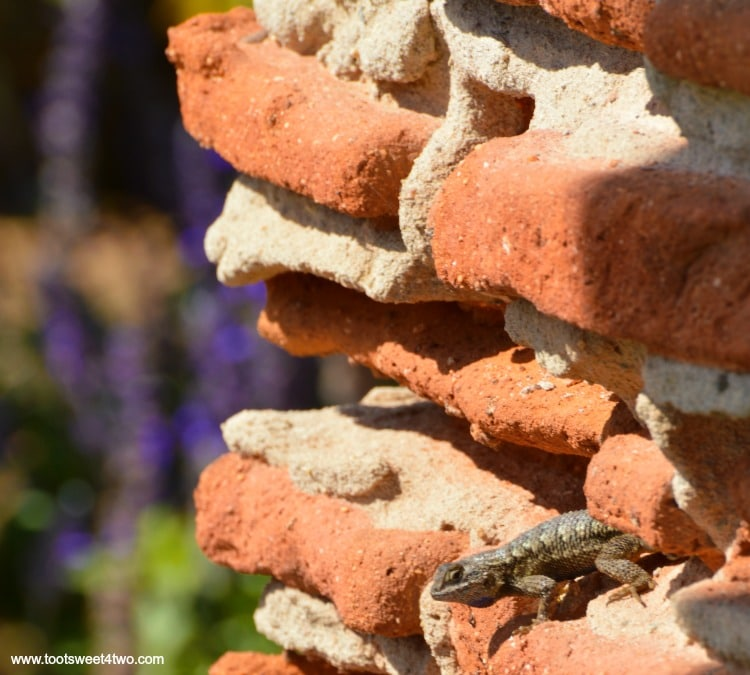 Lizard on the column ruins at Mission San Luis Rey Welcome Center