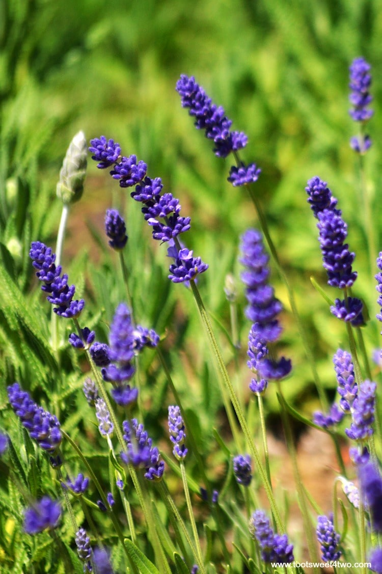Lavender blowing in the wind at Old Mission San Luis Rey Gardens