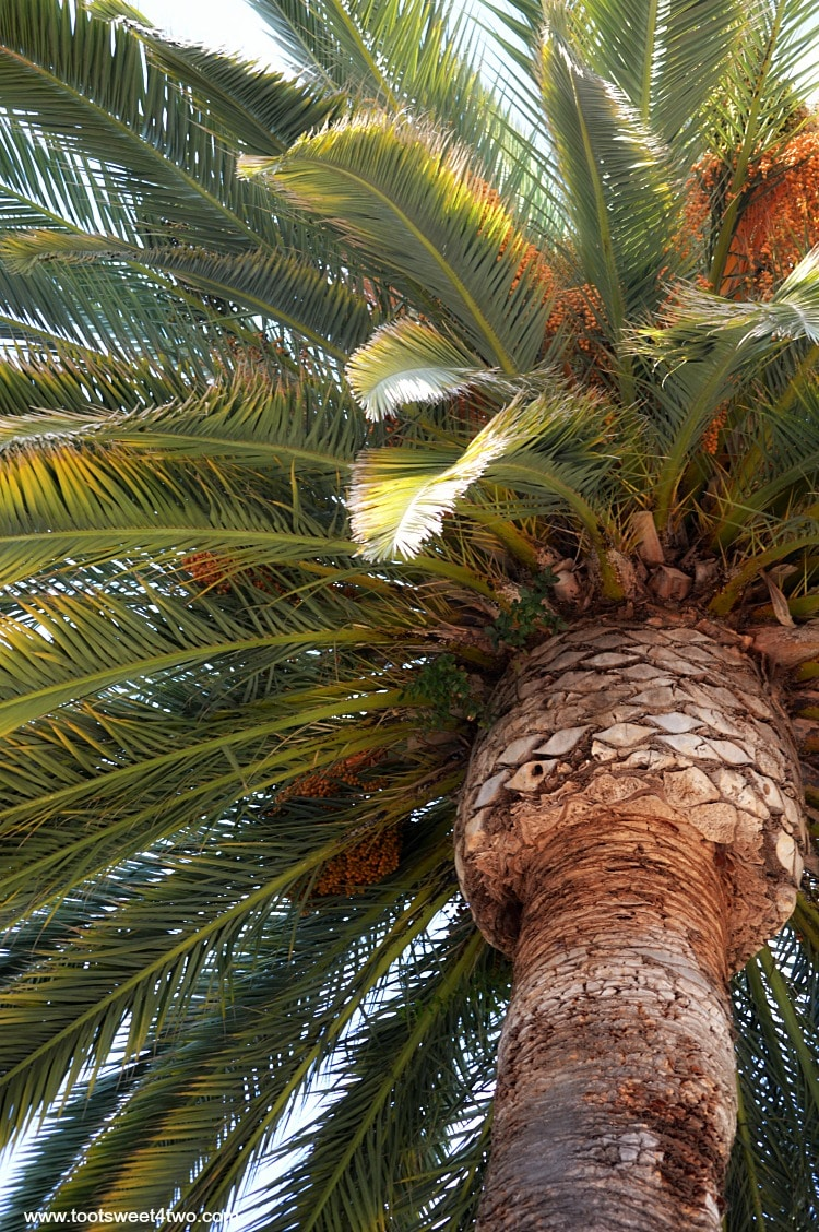 Palm tree at Old Mission San Luis Rey Gardens