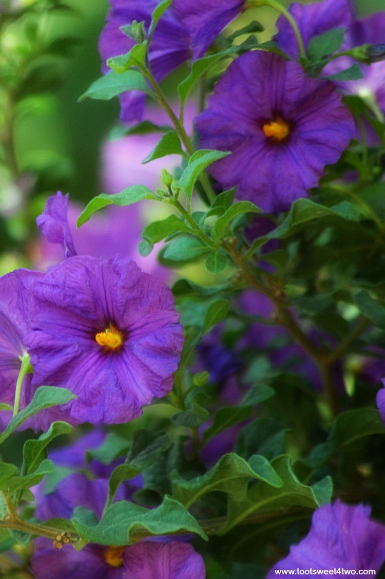 Purple Princess Flower at Old Mission San Luis Rey Gardens
