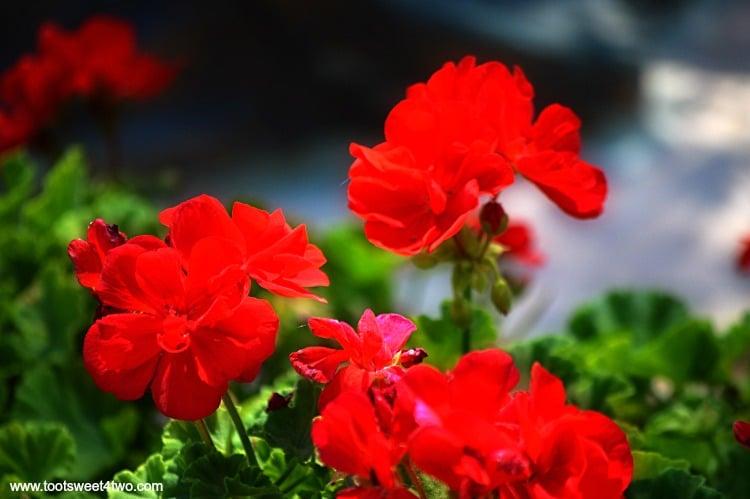Red Geraniums at Old Mission San Luis Rey Gardens