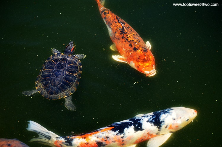 Turtle and Koi in Koi Pond at Old Mission San Luis Rey Gardens