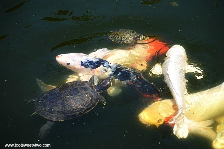 Turtles and Koi in Koi Pond at Old Mission San Luis Rey Gardens