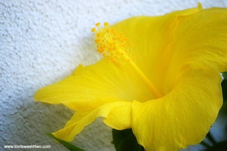 Yellow Hibiscus at Old Mission San Luis Rey Gardens