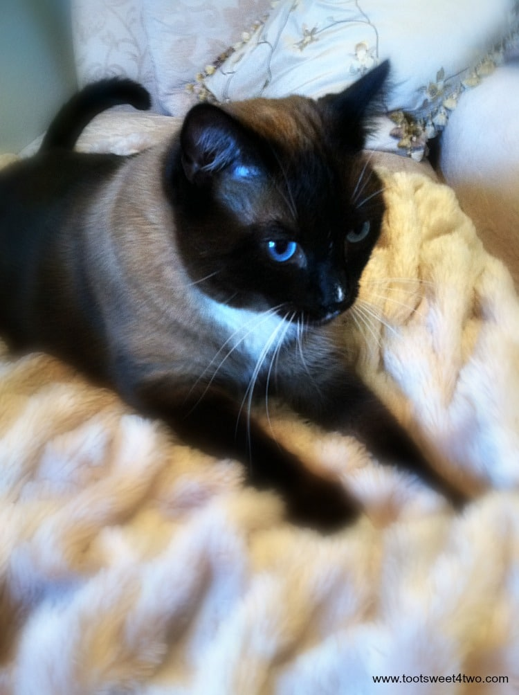Meet Coco - our beautiful and loving Snowshoe Siamese cat - a boy named Coco. See more photos of Coco at www.tootsweet4two.com