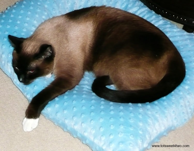 Meet Coco - our beautiful and loving Snowshoe Siamese cat - a boy named Coco. See more photos of Coco at www.tootsweet4two.com.