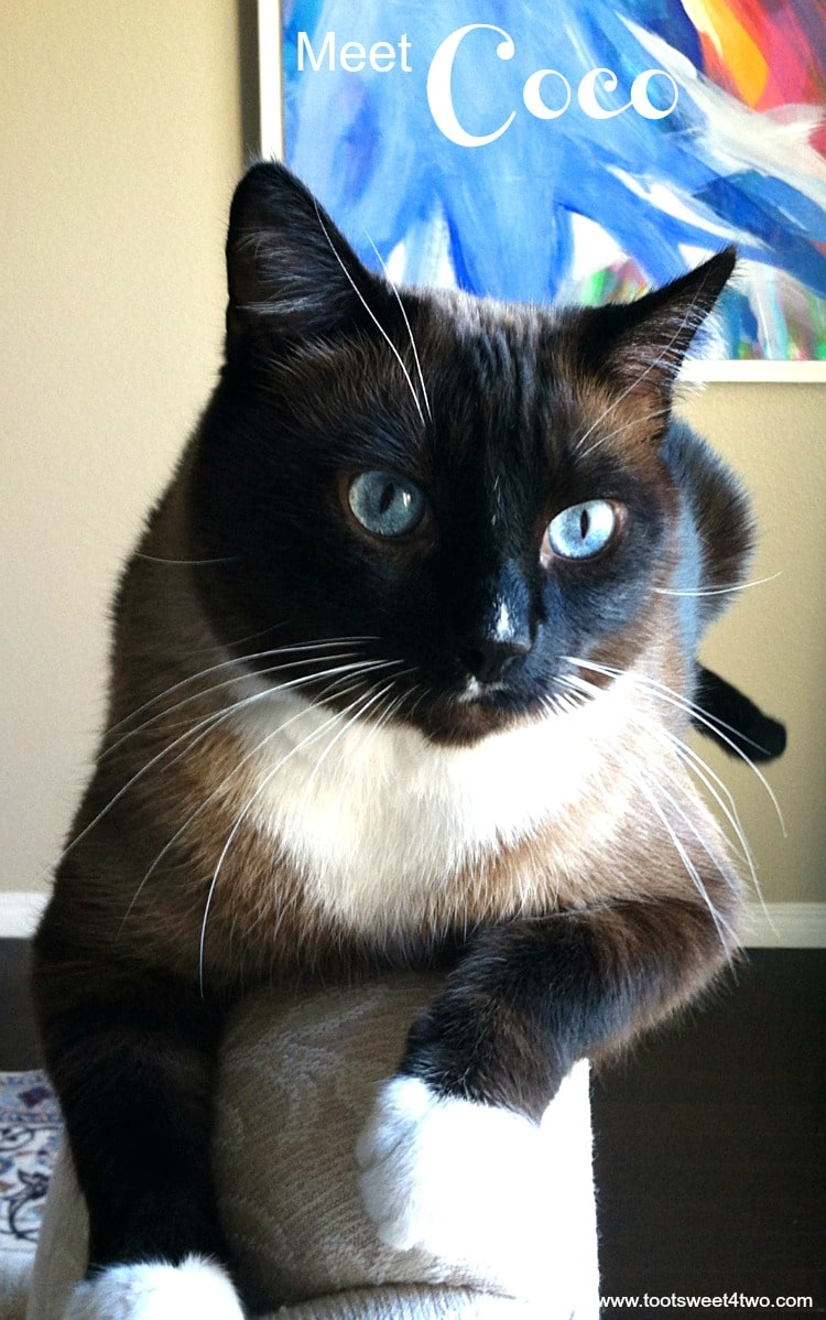 Meet Coco, my gorgeous Snowshoe Siamese cat! Although he's a bit anti-social and has a detachment disorder, he's a loving cat in his own way. With the most amazing blue eyes, Coco will mesmerize you and get you to do his bidding! More photos of Coco at www.tootsweet4two.com.