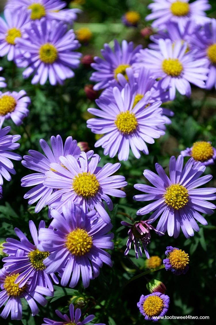 Purple Aster Close-up in Miniature Fairy Garden