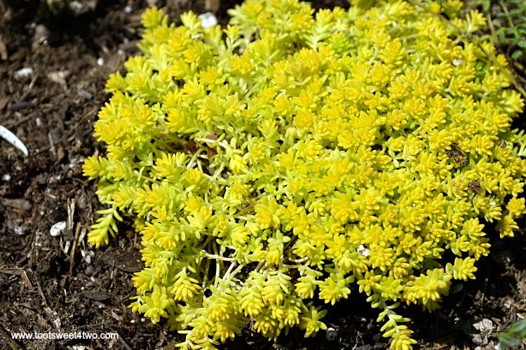 Sedum De Oro Gold Moss in Miniature Fairy Garden