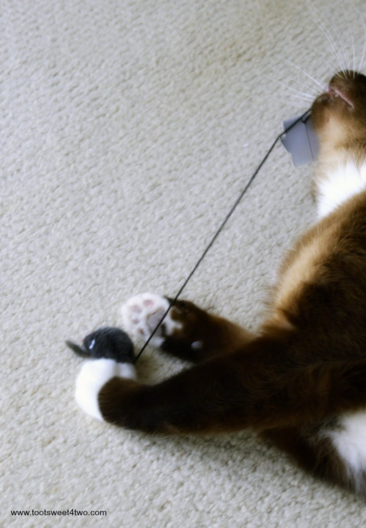 Coco stretching the USB cord from the Laptop Cat Scratching Pad