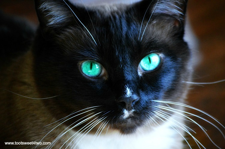 Coco's with turquoise eyes